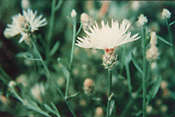 Photo: Diffuse Knapweed