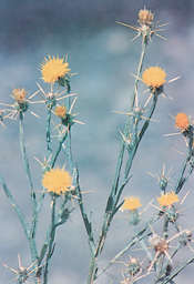 Photo: Yellow Star Thistle